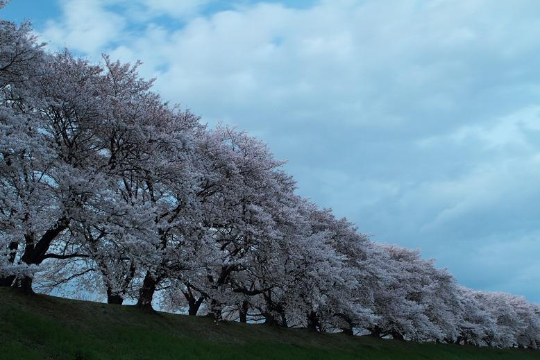 背割桜、16