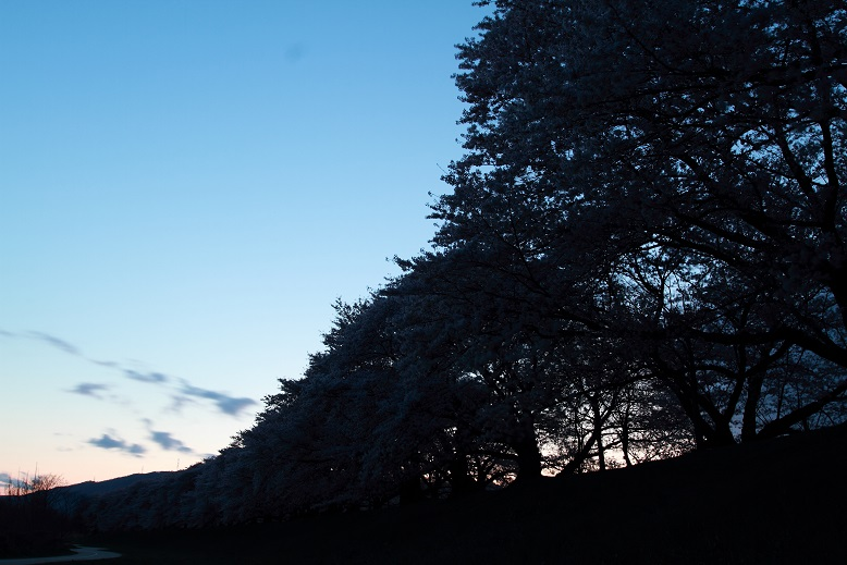 背割桜、17