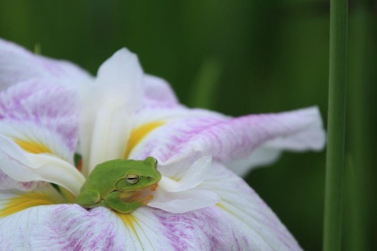 柳生花しょうぶ園、8