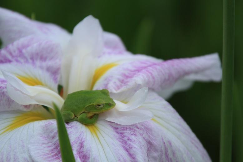 柳生花しょうぶ園、9