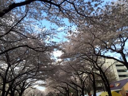 相模原桜祭り2014