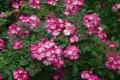 rosa-mozart1.jpg
