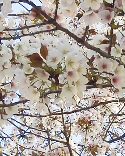 小谷公園の桜