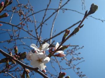 アーカンソーに桜咲く-1, 2014-3-30