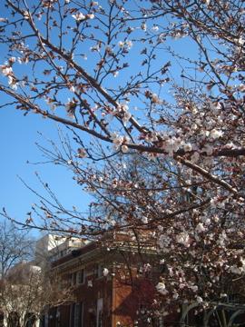 アーカンソーに桜咲く-2, 2014-3-30