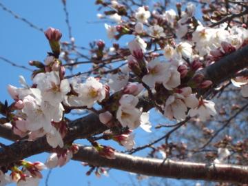 アーカンソーに桜咲く-3, 2014-3-30