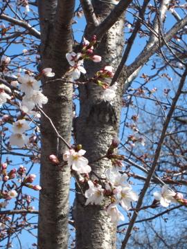 アーカンソーに桜咲く-4, 2014-3-30