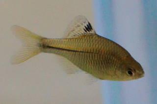 カゼトゲタナゴ雌(相模)