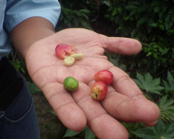 Air+Esky+Coffee+in+Panama 201400818
