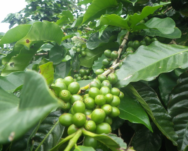 Air+Esky+Coffee+in+Panama 201400817