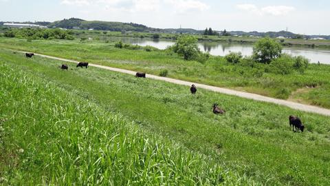 1406利根川の放牧