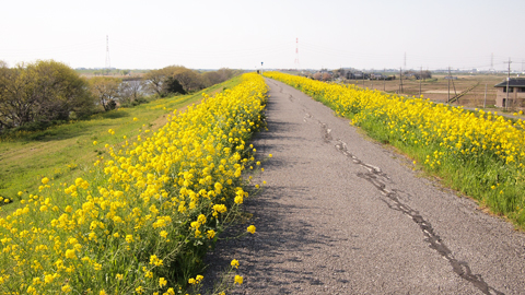 1404江戸川菜の花
