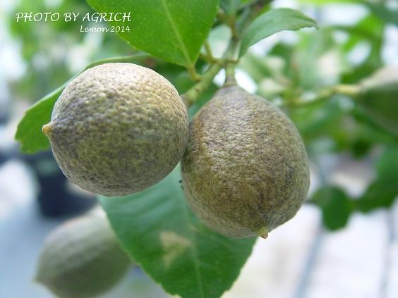lemon2014-3