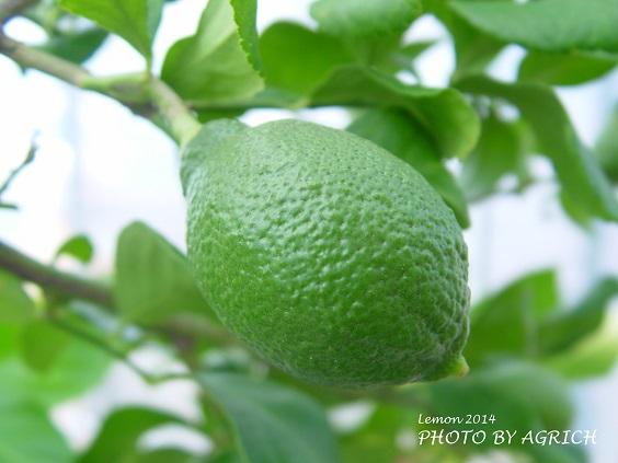 lemon2014-2