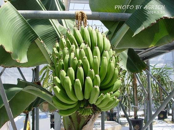 banana2014