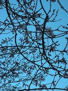 桜がちらり