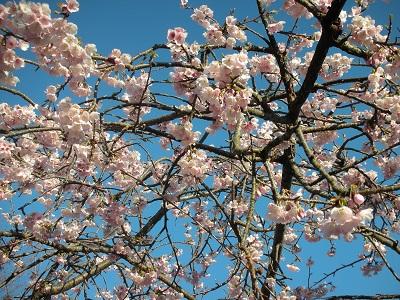 8分咲きの木が1本