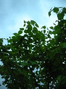 ヤマボウシの若葉