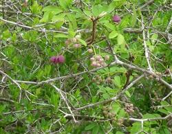 つる植物の花