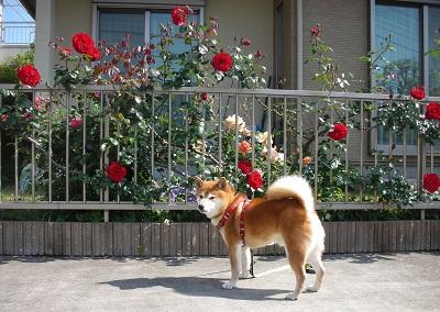 薔薇と柴犬