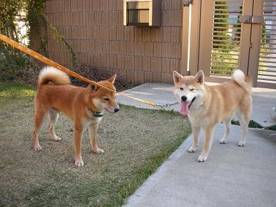 2009.11.8 弟犬ユッキ-と