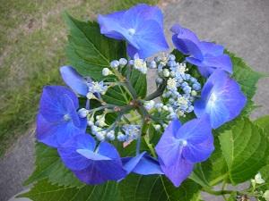 紫陽花 ブル-スカイ