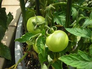 トマト大きくなりました