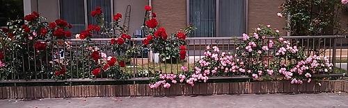 薔薇真っ盛り