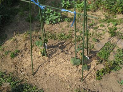 農業覚書 トマトの支柱 3