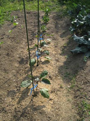 農業覚書 トマトの支柱 4