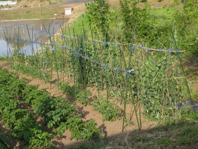 農業覚書 トマトの支柱 5