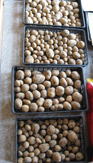 ジャガイモを収穫 2014