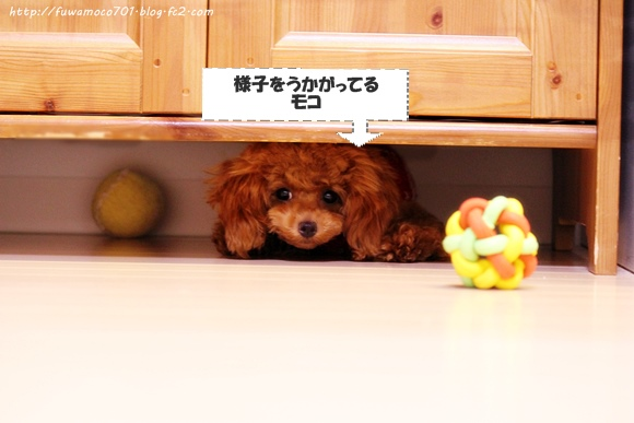ティーカッププードルモコ☆1