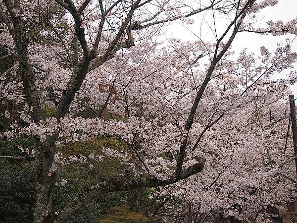 桜20 掲載画像