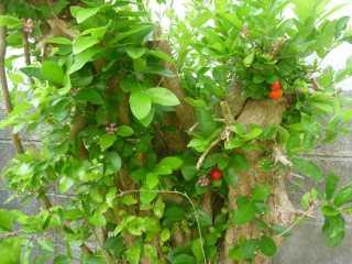 庭のアセロラ