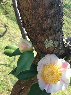 梅林公園 梅まつり 花