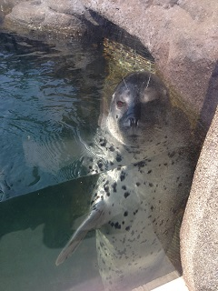 鶴岡市立加茂水族館 アザラシ