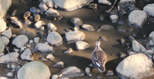 鴨の親子2