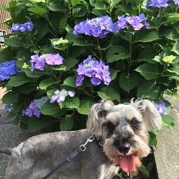 紫陽花とわたし