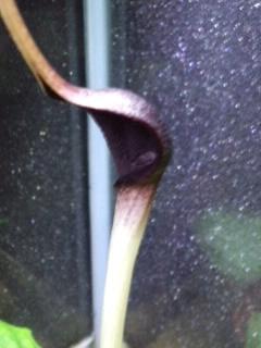 クリプトコリネ ロンギカウダ 花 Grow aquarium