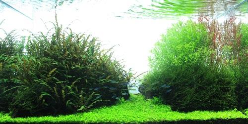 2014世界水草レイアウトコンテスト作品 東海 岐阜 熱帯魚 水草 観葉植物販売 Grow aquarium
