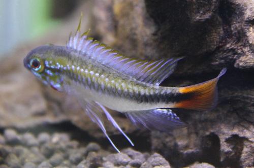 アピストグラマ エリスルラ 東海 岐阜 熱帯魚 水草 観葉植物販売 Grow aquarium