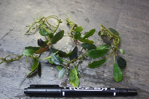 Bucephalandra sp. Sylvia 東海 岐阜 熱帯魚 水草 観葉植物販売 Grow aquarium
