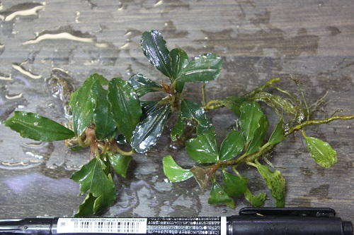Bucephalandra sp. Brownie Metallica Borneo 東海 岐阜 熱帯魚 水草 観葉植物販売 Grow aquarium