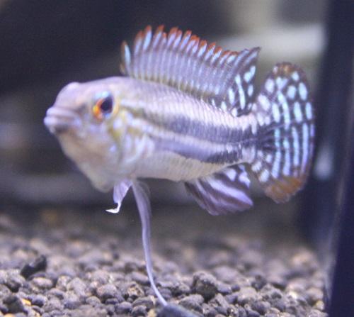 アピストグラマ ミウア リオミウアツインバー 東海 岐阜 熱帯魚 水草 観葉植物販売 Grow aquarium