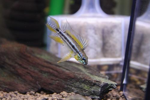 アピストグラマ ビタエニアータ カカオペイラツインバー 東海 岐阜 熱帯魚 水草 観葉植物販売 Grow aquarium