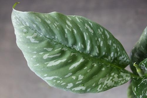 Schismatoglottis roseospatha 東海 岐阜 熱帯魚 水草 観葉植物販売 Grow aquarium