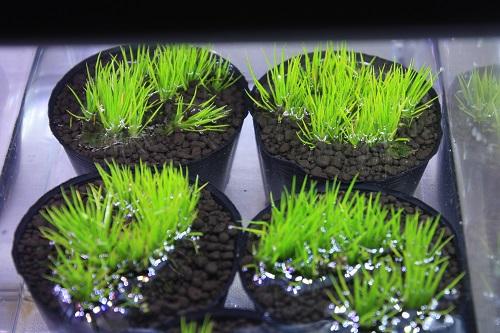 ホシクサsp. エリオカウロン 東海 岐阜 熱帯魚 水草 観葉植物販売 Grow aquarium