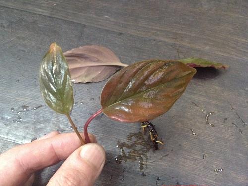 Homalomana sp.Red Tiger Lingga 東海 岐阜 熱帯魚 水草 観葉植物販売 Grow aquarium