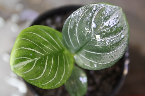 スキスマトグロッティスsp.プセウドハッチィ 東海 岐阜 熱帯魚 水草 観葉植物販売 Grow aquarium